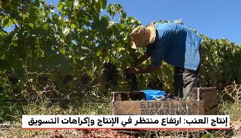 روبورتاج .. إنتاج العنب يشهد ارتفاعا ملحوظا رغم إكراهات التسويق