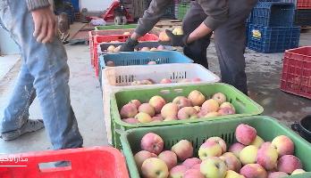 روبورتاج من ميدلت ..  انطلاق سلسلة إنتاج التفاح