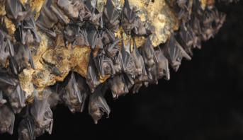 علماء يجيبون على سؤال محير حول الوطواط مصاص الدماء؟