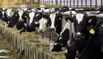حملة للتذكير بالتلقيح ضد الحمى القلاعية للأبقار (صنف أ) ما بين 20 دجنبر و28 فبراير 2018