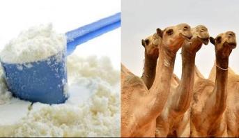 الإمارات تُنتج مسحوق حليب الأطفال من الإبل الأول في العالم