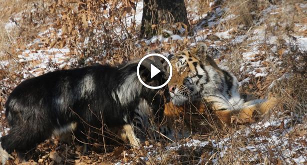 Vidéo: un tigre câlin et une chèvre arrogante...