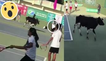 فيديو طريف .. بقرة تُرغم شبانا على توقيف حصة تدريبية في رياضة التنس