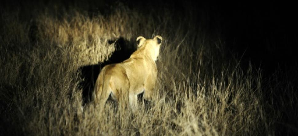 Quatorze lions en liberté en Afrique du Sud