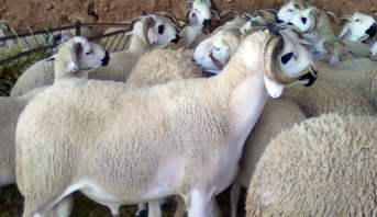 المغرب .. من المتوقع أن يصل عدد رؤوس الأغنام والماعز المرقمة إلى 8 ملايين
