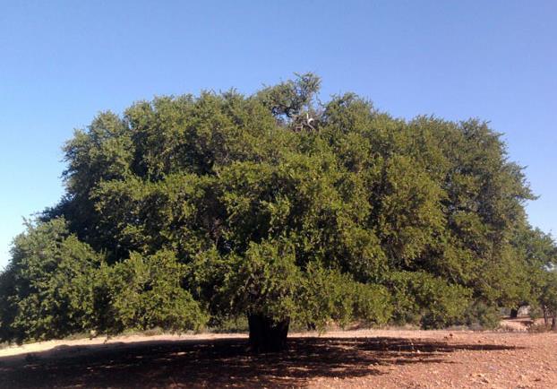 Plantation de 50.000 hectares d'arganier d'ici 2030 (Akhannouch)