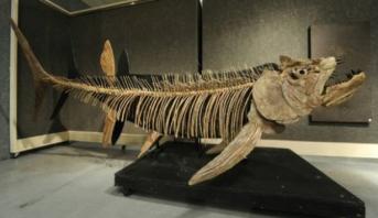 العثور في الأرجنتين على بقايا متحجرة لسمكة عملاقة تعود إلى 70 مليون سنة
