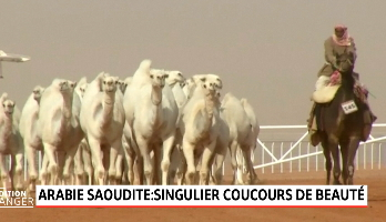 Arabie saoudite: des chameaux botoxés exclus d'un concours de beauté