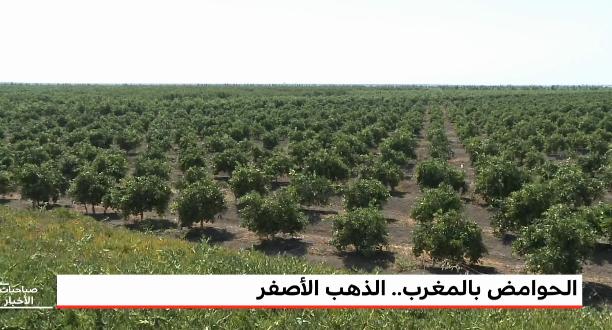 """""""المغرب الأخضر"""" .. إنتاج الحوامض بالمغرب ، الذهب الأصفر"""