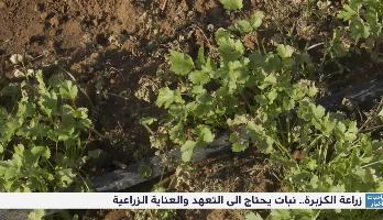 روبورتاج .. زراعة الكزبرة ، نبات يحتاج إلى التعهد والعناية الزراعية