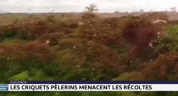 Ouganda : les criquets pèlerins menacent les récoltes