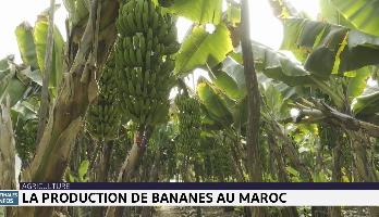 Zoom sur la production de bananes au Maroc