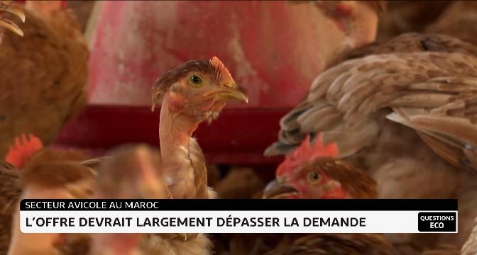Secteur avicole au Maroc: l'offre devrait largement dépasser la demande