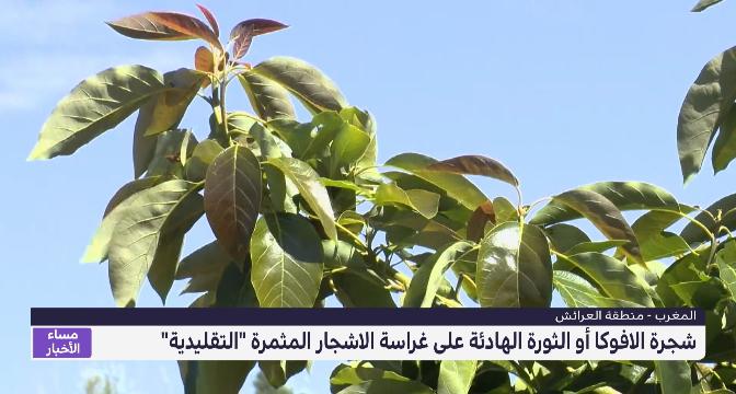 روبورتاج .. شجرة الأفوكا أو الثورة الهادئة على غراسة الأشجار المثمرة التقليدية