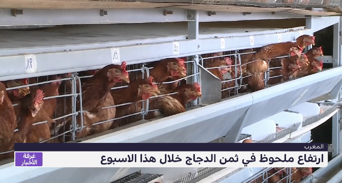 روبورتاج .. ارتفاع أسعار الدجاج بالأسواق المغربية