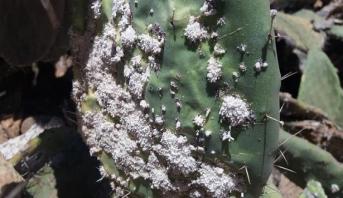 الحشرة القرمزية تهدد حقول الصبار والتعاونيات بسيدي إفني