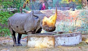 نفوق آخر أنثى وحيد القرن الأبيض في العالم
