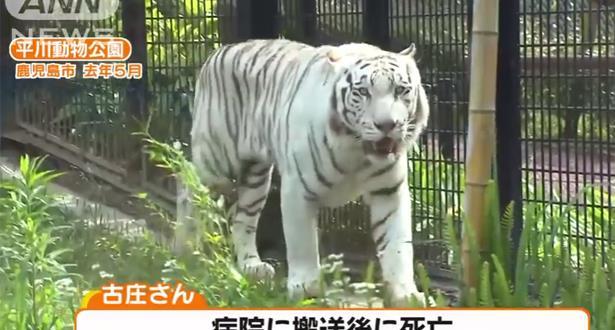 Japon: un tigre blanc attaque et tue un gardien de zoo