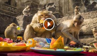 فيديو..إقليم في تايلاند يقيم مأدبة فواكه سنوية للاحتفال بالقِردة