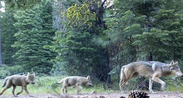 USA: le loup n'est plus une espèce protégée