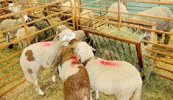 Rehamna: saisie de 12 tonnes de fiente de volailles destinée à l'engraissement du cheptel