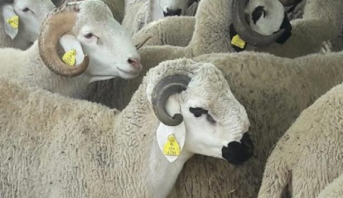 Aïd al-Adha: plus de 4,5 millions de têtes d'ovins et caprins ont été identifiées par la boucle