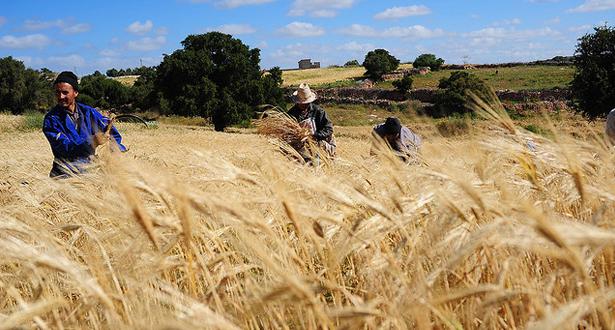 الإنتاج النهائي من الحبوب بلغ 32 مليون قنطار برسم الموسم 2019-2020