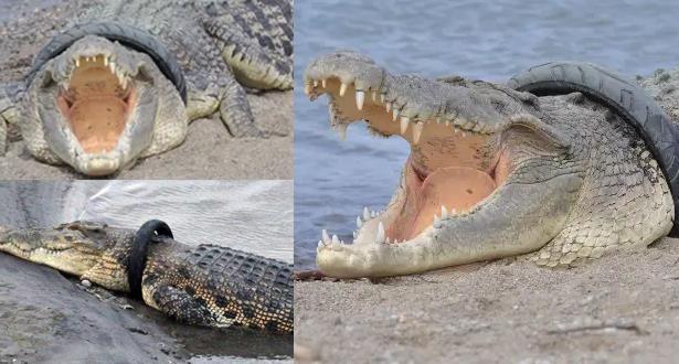 محاولة تحرير تمساح من عجلة عالقة في رقبته .. كل الجهود تتكاثف لإنقاذه، لكن كيف السبيل ؟