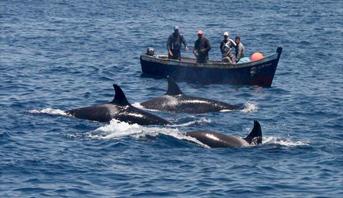 تكاثر أعداد الدلفين الأسود وتأثيره على قطاع الصيد الساحلي بالحسيمة