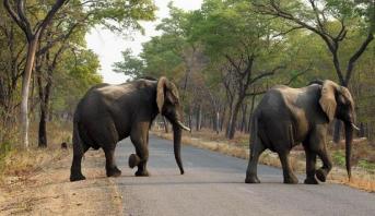 زيمبابوي .. حملة كبرى لإنقاذ الأفيال مع تفاقم أزمة الجفاف