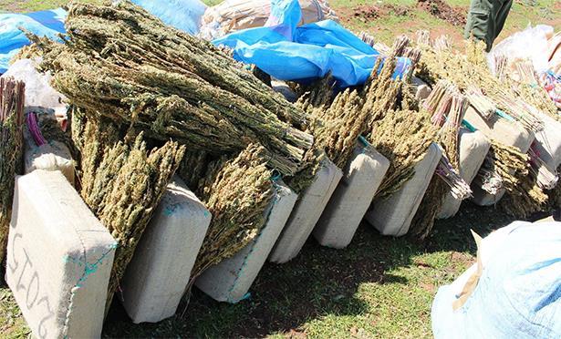Kénitra: saisie de plus de 1,5 tonne de kif et de tabac par la Douane