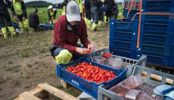 فنلنديون يهبون لقطف الفراولة مع غياب العمال الأجانب