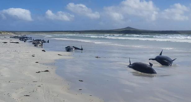 نفوق حوالى مئة حوت طيار إثر جنوحها في نيوزيلندا