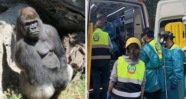 Une employée d'un zoo à Madrid attaquée et blessée par un gorille de 200 kg