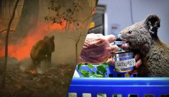 تبرعات فاقت مليون دولار لحماية حيوان الكوالا من حرائق الغابات بأستراليا
