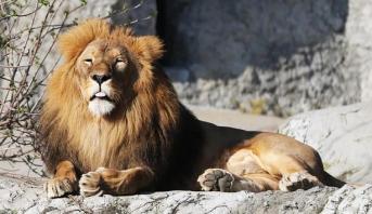 فرار العديد من الحيوانات المفترسة من حديقة حيوانات بألمانيا