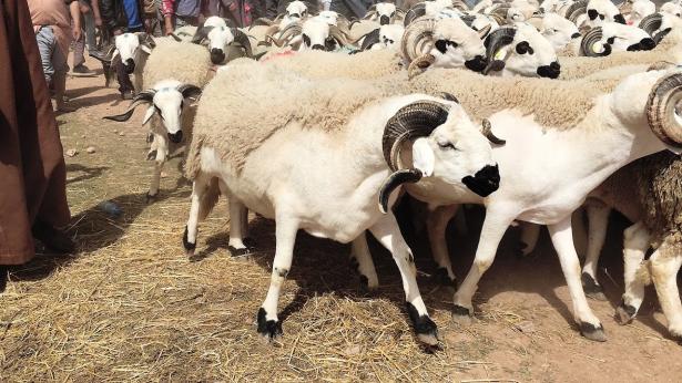 Aid Al Adha: sept souks de bétail destiné au sacrifice fermés