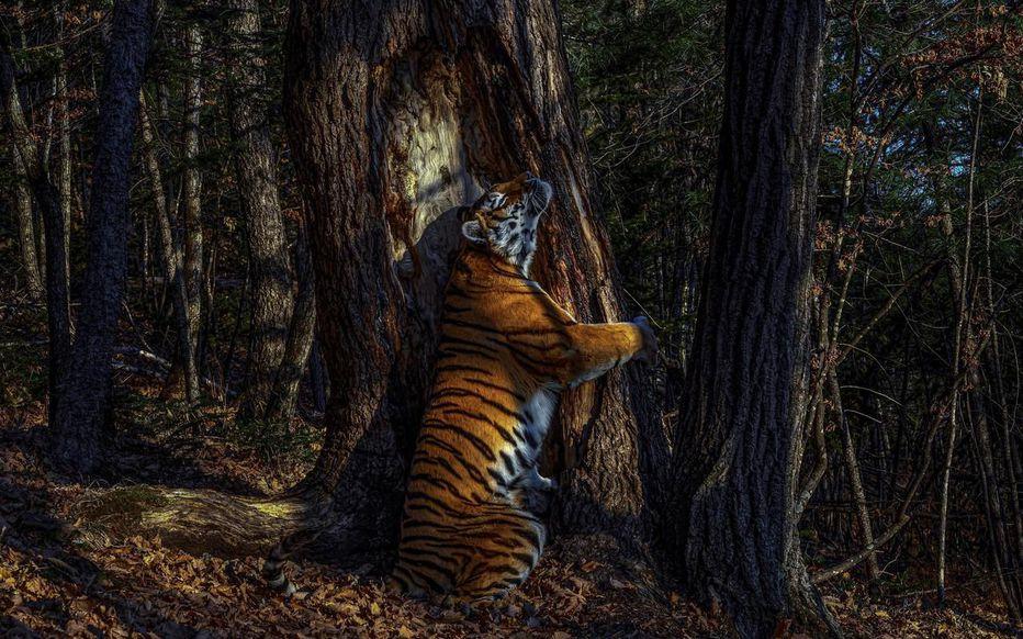 Une tigresse enlaçant un sapin, prix de la meilleure photo de la vie sauvage de 2020