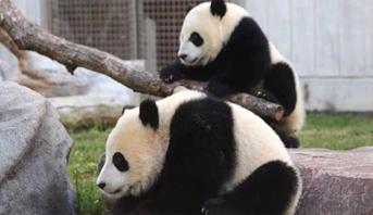 حديقة حيوانات كندية تعيد اثنين من دببة الباندا إلى الصين بسبب كورونا