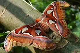 Expédition en Afrique sur les traces d'un des plus grands papillons du monde