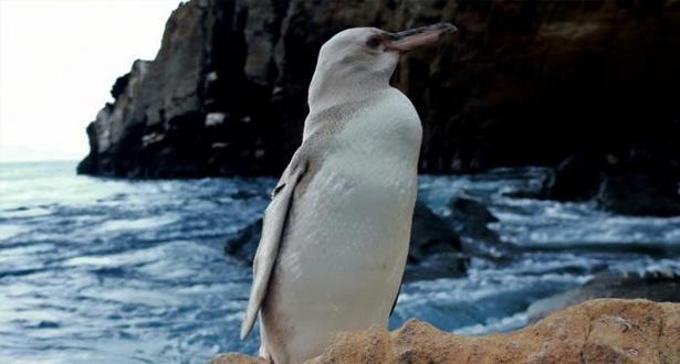 """العثور على طائر بطريق أبيض """"نادر"""" في أرخبيل غالاباغوس"""