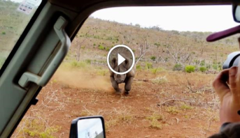 Vidéo: un rhinocéros charge violemment une voiture