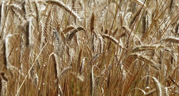 روسيا تحتفظ بالريادة العالمية في صادرات القمح في 2019
