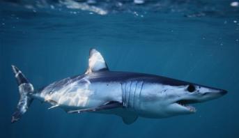 """كاميرات بحرية تظهر تراجعا """"مقلقا"""" لعدد أسماك القرش عبر العالم"""