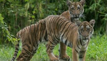 إصابة نمر في حديقة حيوانات أمريكية بفيروس كورونا