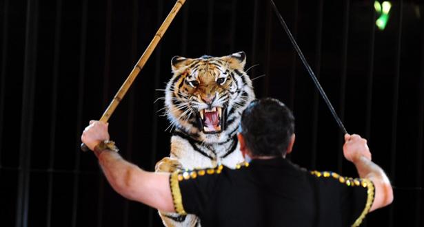 نمر يقتل مدربه في سيرك بجنوب إيطاليا