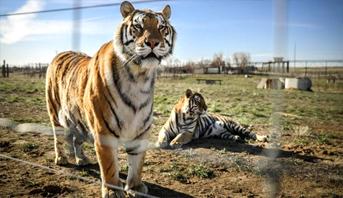 بعد إصابة نمر بكورونا .. التباعد الاجتماعي يطال النمور بحديقة الحيوانات