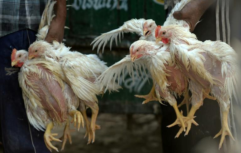 السلطات اليابانية تعدم حوالي 250 ألف دجاجة بسبب تفشي إنفلونزا الطيور