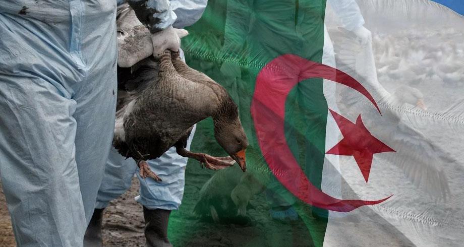 Découverte d'un foyer de grippe aviaire hautement pathogène à l'est de l'Algérie