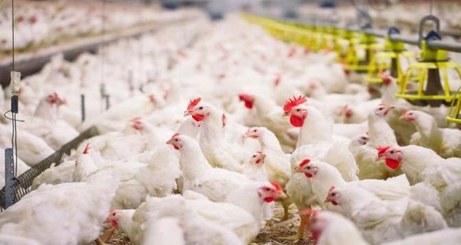 """Grippe aviaire en France : la situation est """"sous contrôle"""""""